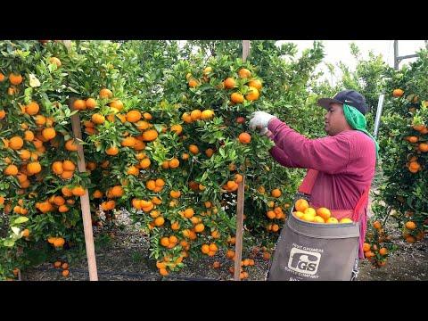 Pisca de Mandarina Por Contrato En Fresno Ca