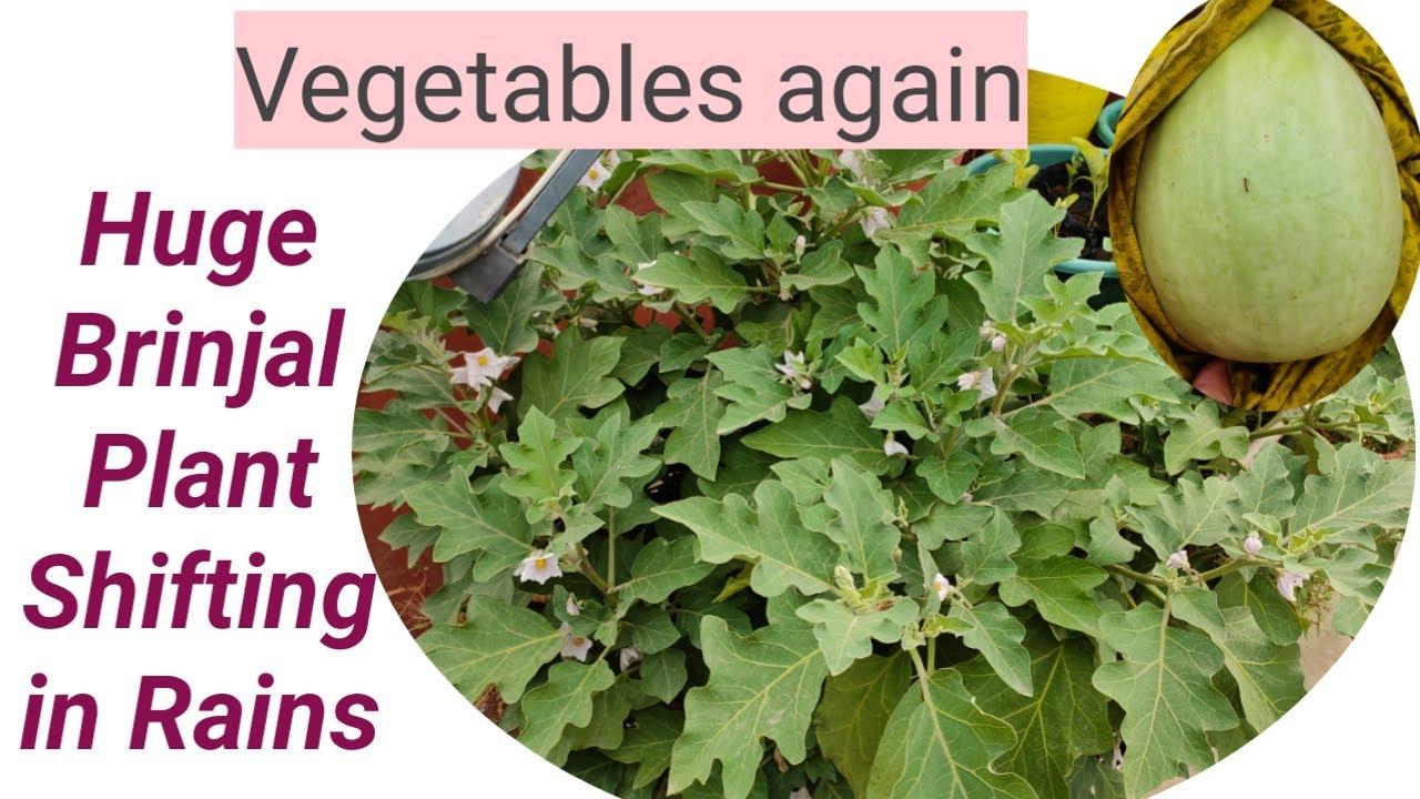 विशालकाय बैंगन🍆 का पौधा शिफ्ट कर दिया बारिश में मैने/ सब्जियों की बहार फिर से शुरू