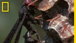 Paper Wasp vs. Army Ant Horde