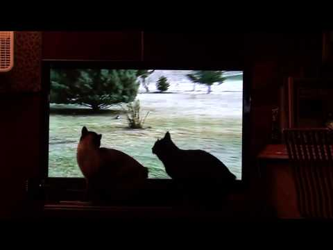 Manx cats love watching Funny Videos on TV