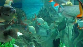 Рыбы Юго-Восточной Азии (шанхайский океанариум, 2010)(В сентябре 2010 года сотрудники редакции журнала «Потребитель» съездили в командировку в китайский Шанхай...., 2011-01-31T18:16:17.000Z)