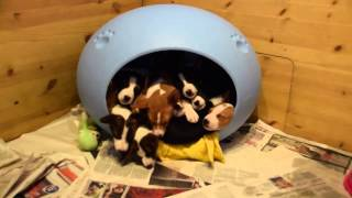 Seemingly endless Basenji puppies pour out of dog bed thumbnail