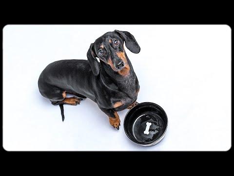Don't trust cute dachshund eyes! Funny dog video!