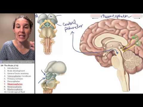 the Midbrain / Mesencephalon (Brain) ☆ Human Anatomy Course