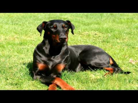 Doberman Pinscher Parasite Prevention