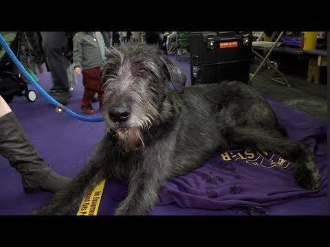 'Legion' The Irish Wolfhound at Westminster Kennel Club Dog Show 2019