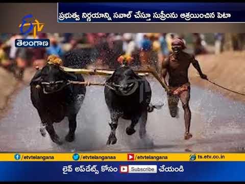 Supreme Court Refuses Interim Stay   on buffalo Racing Sport Kambala   Karnataka