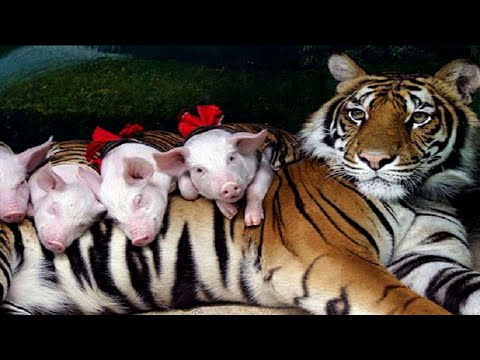 Shy Tigress Loves To Spend Time With Her Piglet Babies
