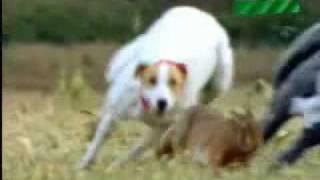 معلومات عن الأرنب+كلاب الصيد - Information on the Rabbit + hunting dogs