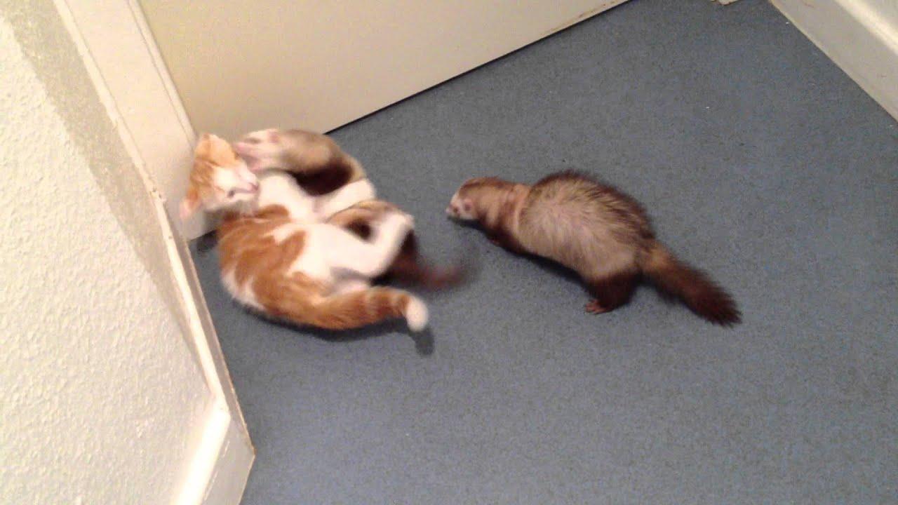 Cohabitation du furet : 2 mâles ou 2 femelles ?