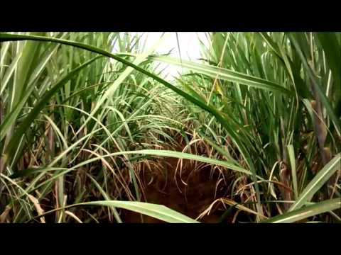 Sugarcane Plantation - CVR Natural Farms