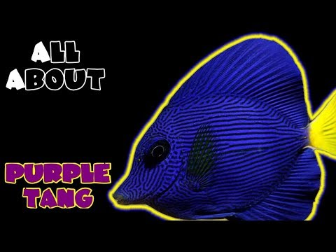 All About The Purple Tang