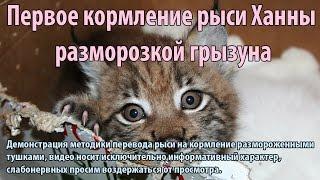 Первое кормление котенка рыси разморозкой грызуна