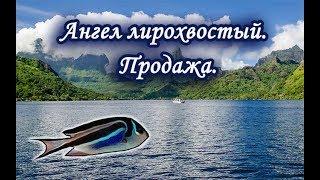 Продажа Ангела лирохвостого. Русская Рыбалка.