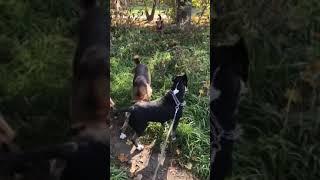 Бультерьер - нормальная реакция на бродячих собак.