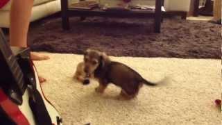 Hyper Miniature Dachshund Puppy