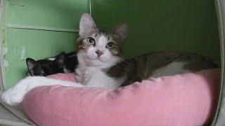 24h貓咪觀察室#822 漸漸習慣睡在一起的姊弟 20210310 (MiMi醬&黑妞&阿金&黑輪 歐戀) Cat Observation