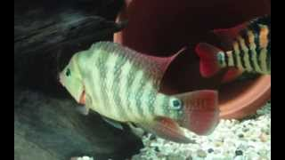 Red Terror Fastae Cichlid