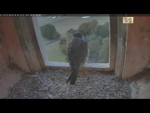 2018 01 18 CSU Orange Peregrine Falcon Marragaay Beggin' On The Roof