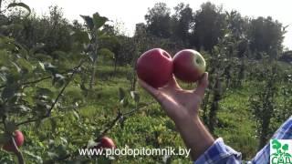 видео Яблоня Лигол