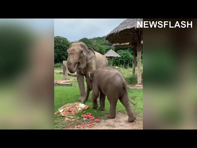 Viral Moment Mischievous Baby Elephant Rolls Around In Grans Special Fruit Cake
