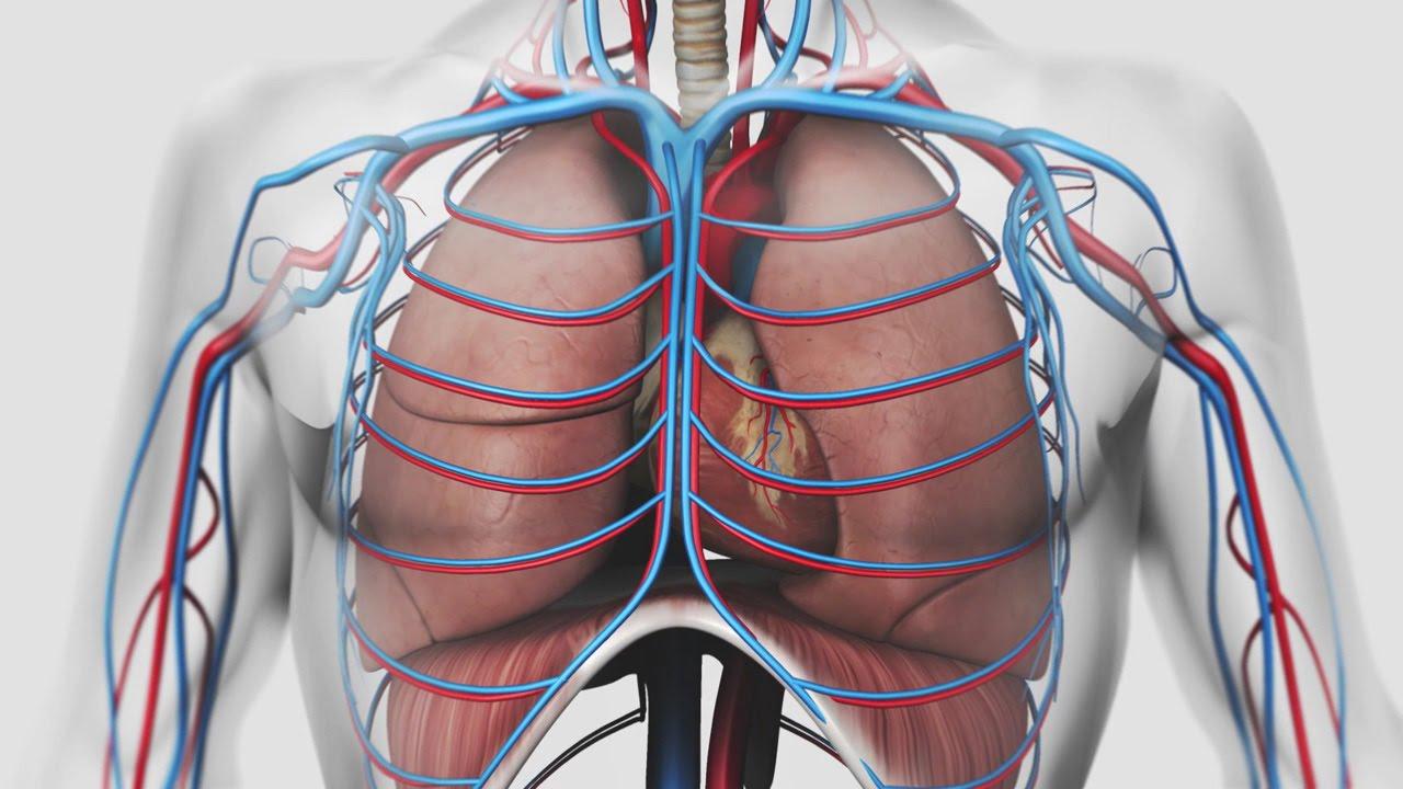 Respiration : visualiser les mécanismes internes du système respiratoire.