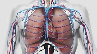 Au coeur des organes : La respiration