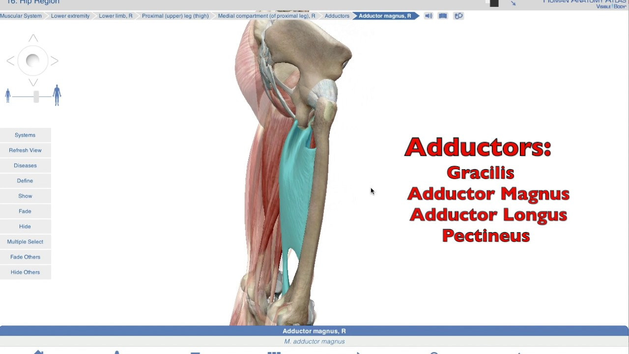 Muscles Of The Hip Iii Adductor Group Youtube
