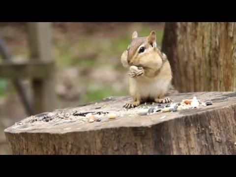 Cute chipmunk stuffs his cheeks.