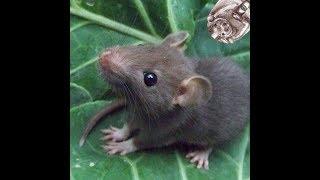 Как выбрать крысёнка (декоративные крысы)