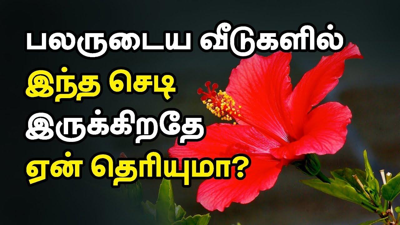 Hibiscus health benefits in tamil sembaruthi flower benefits youtube 24tamil tamilhealthtips izmirmasajfo