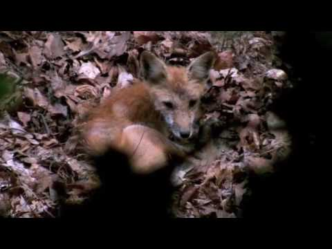Red Fox up close video