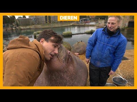 Gigantische walrus fluit naar vrouwtjes (en zoent met Lucas)