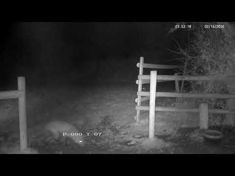 Rural Vixen Female Fox Screaming - With Sounds