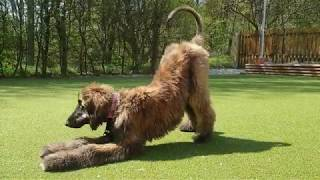 Afghan hound agility & tricks by Shaghf 5 months old