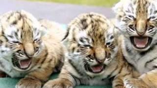 Тигр просит защиты!