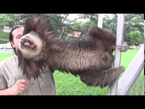 Sloth Decapitation