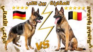 مقارنة بين الجيرمن شيبرد VS المالينوا البلجيكي || من الأفضل بالنسبة إليك ؟