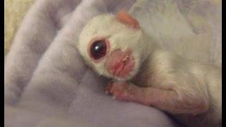 Одноглазый бенгальский котёнок-циклоп по имени Клайд