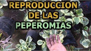 Como reproducir la planta Peperomia variegata  || Info Garden