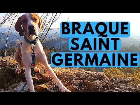 Saint Germain Pointer Dog Breed - Braque Saint Germain