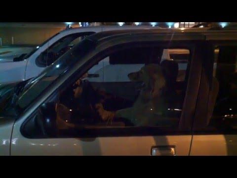 Dog honks horn in parking lot