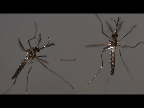 Oxitec using genetically modified mosquitoes