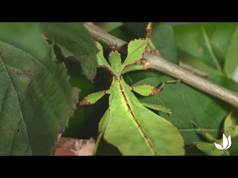 bceed2d9746 Le phasme (phyllium philippinicum) - Jardinerie Truffaut TV - YouTube