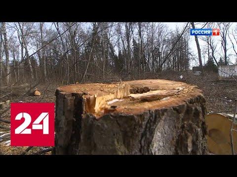 В центре подмосковного города Видное вырубают вековые березы - Россия 24