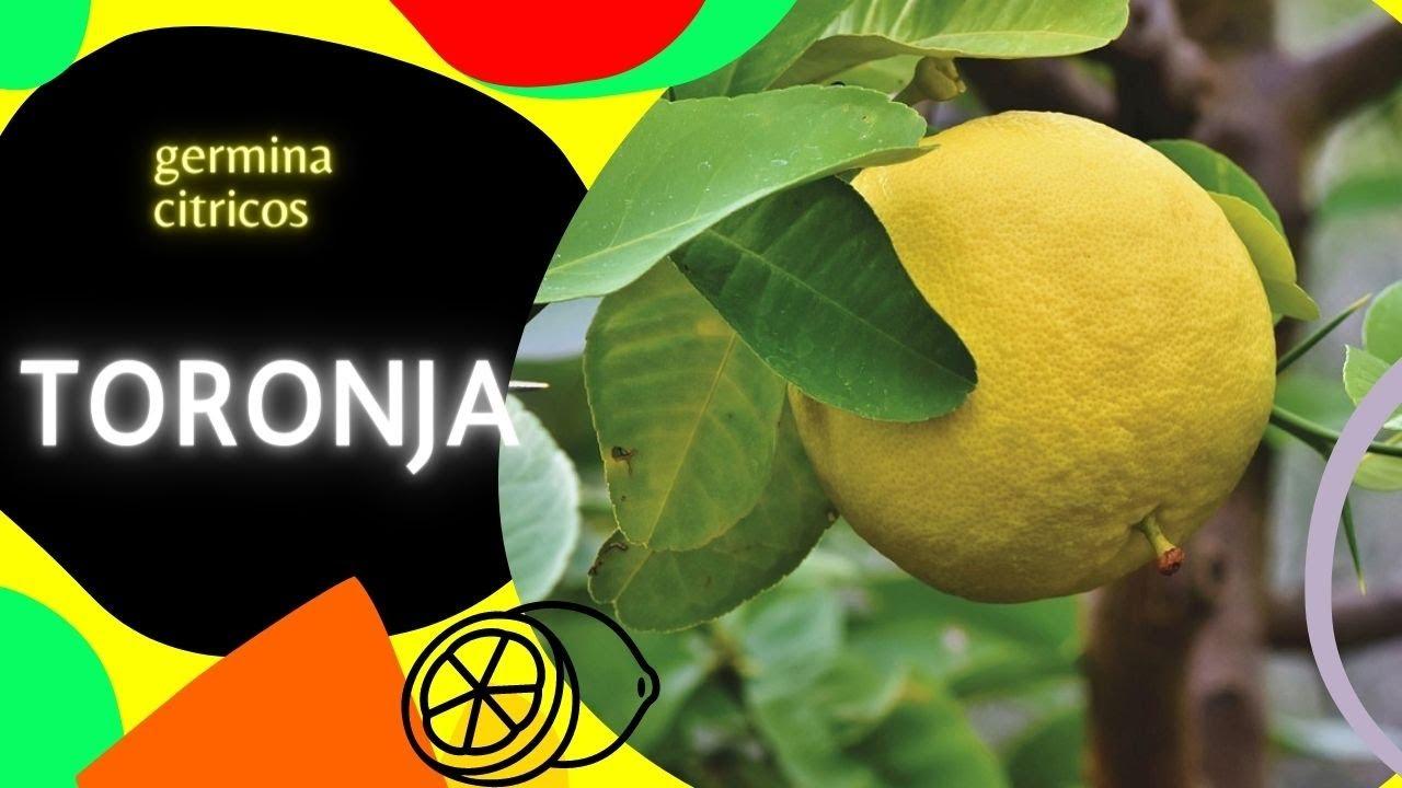 💗¡Como germinar toronja, ESTE ES EL METODO! (Citrus ×paradisi)😘😃