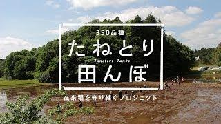350品種 たねとり田んぼ 2013 〜在来種を守り継ぐプロジェクト〜