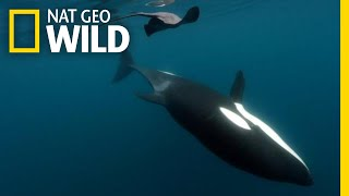 Orca Knocks Stingray Out Cold With Its Tail - for 'Play' | Nat Geo Wild
