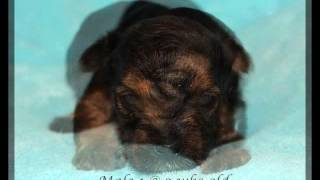 Yorkie Puppies For Sale September 2015