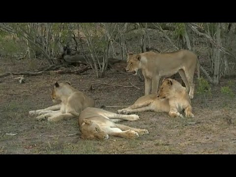 Part 2 Pm Safari Drive at Djuma Game Reserve on Feb 21, 2016 ( Nkuhuma Lionesses )